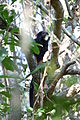Black lion tamarin Pontal do Paranapanema 10.JPG