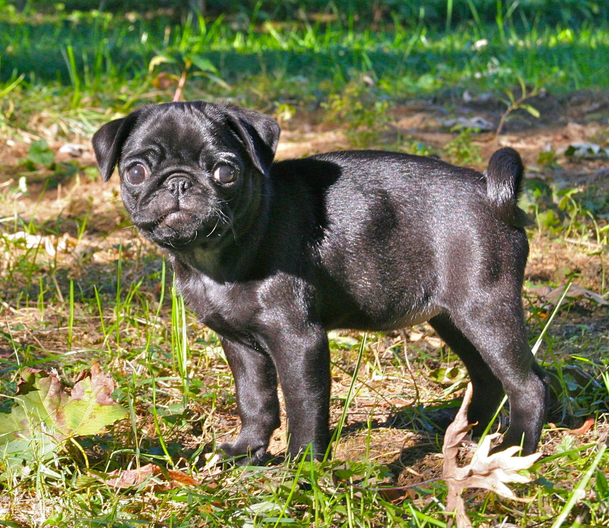 Black Pug Puppy Png Wikimedia Commons