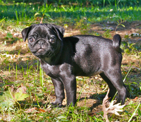 Black pug puppy.png