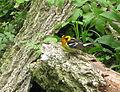 Blackburnian Warbler Setophaga fusca, Pheasant Branch, Middleton, WI 3.jpg