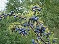 Blackthorn fruit (sloes) - Prunus spinosa - geograph.org.uk - 1173281.jpg