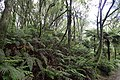 Blechnum novae-zelandiae kz13.jpg