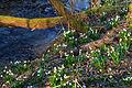 Bledule jarní v PR Králova zahrada 49.jpg