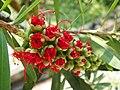 Blooming bottlebrush (Callistemon) found in Kelantan, Malaysia.JPG