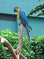 Blue-and-yellow Macaw, Ara ararauna, JBP, Nov 06.jpg