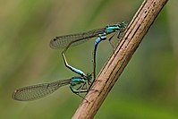 Blue-tailed damselfies (Ischnura elegans) mating female typica 3.jpg