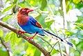 Blue Magpie (16634537293).jpg
