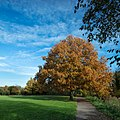 Blue Skies And Golden Leaves (184572163).jpeg