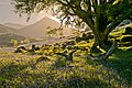 Bluebell Morning. - panoramio.jpg