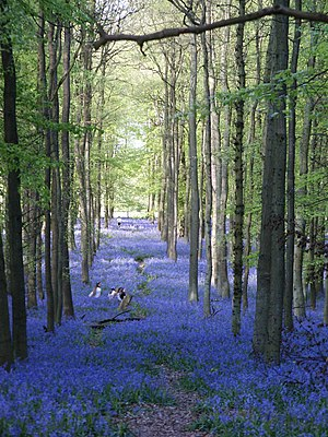 English Lowlands beech forests - A bluebell wood near Ivinghoe Beacon in early May