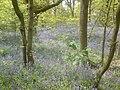 Bluebells at Bathpool - geograph.org.uk - 1310750.jpg