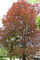 Blutbuche Flagus sylvatica 'purpurea' Rosenhain Max-Mell-Allee.JPG