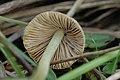 Bolbitius.vitellinus2.-.lindsey.jpg