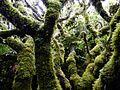 Bosques enanos de Canelo y helechos arboreos por Pato Novoa - Isla Alejandro Selkirk.jpg