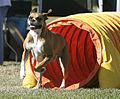Boxer agility tunnel wb.jpg