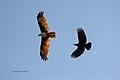 Brahmany Kite being mobbed by a crow, Sri Lanka.jpg
