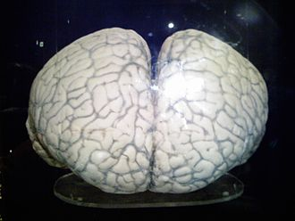 Pacific white-sided dolphin - Pacific white-sided dolphin's brain at Okinawa Churaumi Aquarium