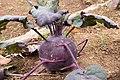 Brassica oleracea var. gongylodes 02.jpg