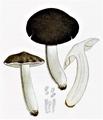 Bresadola - Tricholoma terreum.png
