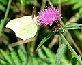 Brimstone at Bovey Valley - geograph.org.uk - 923608.jpg