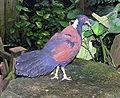 Bristol.zoo.white.naped.pheasant.pigeon.arp.jpg