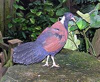 Bristol.zoo.white.naped.pheasant.pigeon.arp