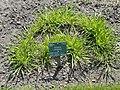 Bromus arvensis - Copenhagen Botanical Garden - DSC08048.JPG