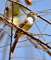 Brown-crested Flycatcher (6900649160).jpg