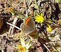 Brown Argus. Aricia aegestis - Flickr - gailhampshire (1).jpg