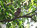Brown Hawk Owl (Ninox scutulata).jpg