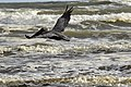 Brown pelican - Daytona Beach Shores Florida November 2017.jpg