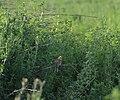 Bruchwiesen bei Büttelborn DSC 0300 Vogel.jpg