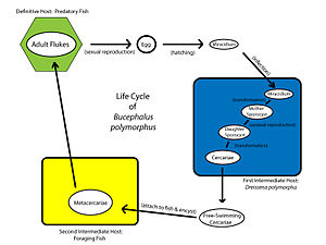 Trematode life cycle stages - Life cycle stages of a digenean fish parasite, Bucephalus polymorphus
