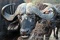 Buffalo, Kruger National Park, South Africa (14986615512).jpg