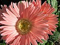 Bunch Of Gerber Daisies (216890370).jpg