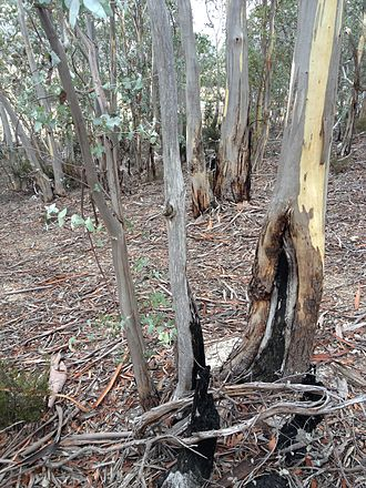 Black Thursday bushfires - Burnt bases of Eucalyptus tenuiramis in dry sclerophyll forest