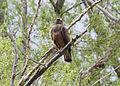 Buteo swainsoni, Ladd Marsh Wildlife Area, La Grande, Oregon 1.jpg