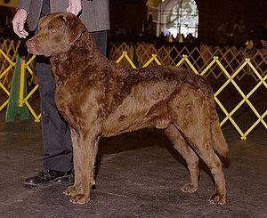 Chesapeake Bay Retriever - Chesapeake Bay Retriever standing in the show ring.