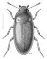 COLE Archeocrypticidae Archeocrypticus topali 1.png