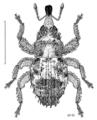 COLE Curculionidae Adstantes rudis.png