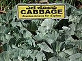 Cabbage from lalbagh 2298.JPG