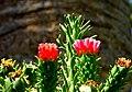 Cactus blossom - Flickr - Stiller Beobachter.jpg