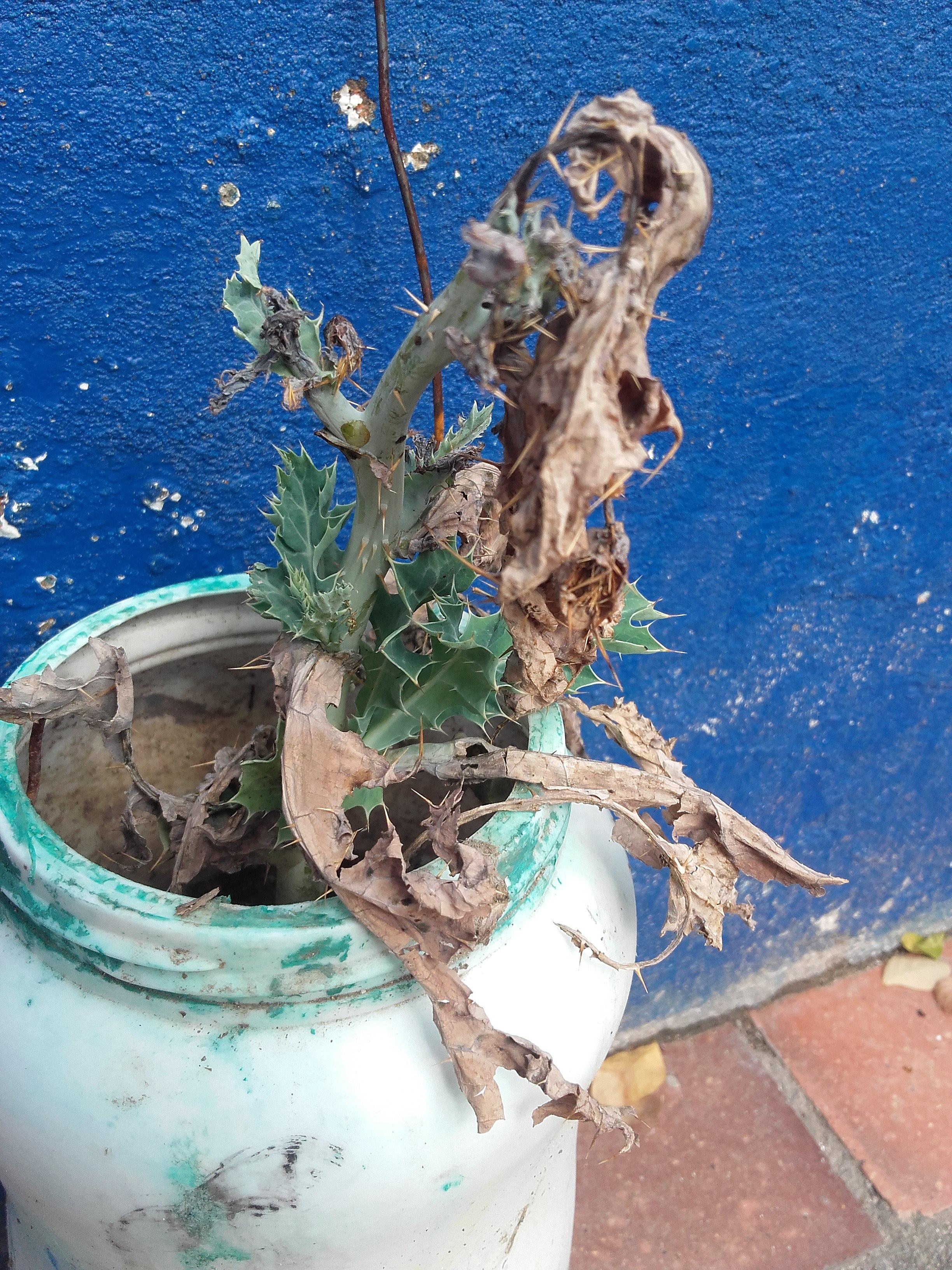 Filecactus Seco Marronjpeg Wikimedia Commons - Cactus-seco