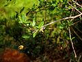 Cadaba fruiticosa117.JPG