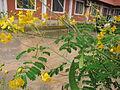Caesalpinia pulcherrima - രാജമല്ലി 03.JPG