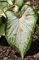 Caladium 'White Dynasty' Leaf.JPG