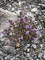 Calamintha alpina 001.JPG