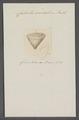 Calceola sandalina - - Print - Iconographia Zoologica - Special Collections University of Amsterdam - UBAINV0274 074 05 0002.tif