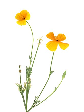 Eschscholzia californica - Scan of a California poppy