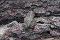 California Toad- Anaxyrus boreas halophilus (9403799590).jpg